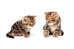 великобританские котята волос замыкают накоротко Стоковое Фото