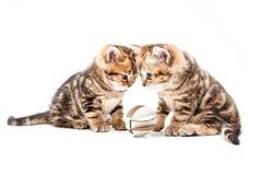 великобританские котята волос замыкают накоротко Стоковая Фотография RF