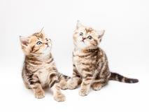 великобританские котята волос замыкают накоротко Стоковое фото RF