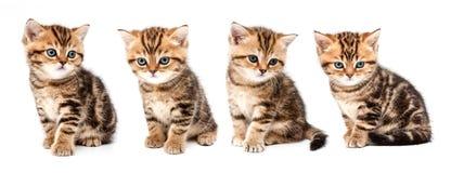 великобританские котята волос замыкают накоротко Стоковые Фотографии RF