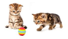 великобританские котята волос замыкают накоротко Стоковое Изображение RF