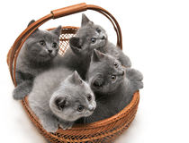великобританские котята Стоковые Фотографии RF