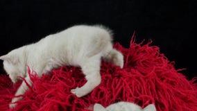 Великобританские котята Shorthair вверх на красном пушистом одеяле сток-видео