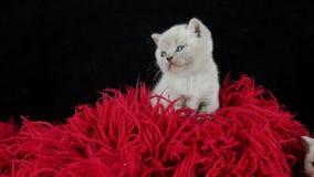 Великобританские котята Shorthair вверх на красном пушистом одеяле видеоматериал