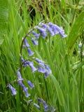 Великобританские bluebells с зелеными листьями на предпосылке Стоковое Изображение