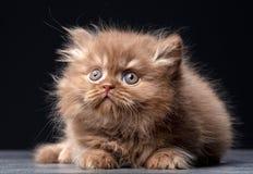 Великобританский длинный котенок волос стоковое изображение rf