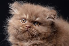 Великобританский длинный котенок волос стоковое фото