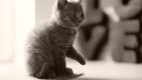 Великобританский идти котенка shorthair видеоматериал