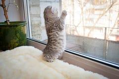 Великобританский котенок стоял на своих задних ногах на windowsill и смотрит вне окно стоковые фотографии rf