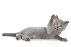 великобританский котенок шаловливый Стоковое Изображение