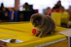 великобританский котенок шаловливый Стоковое Фото