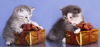 великобританский котенок стоковое фото rf
