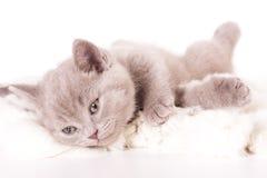 великобританский котенок стоковые фотографии rf