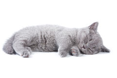 великобританский котенок Стоковые Изображения