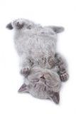 великобританский котенок Стоковая Фотография