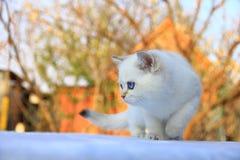 Великобританский котенок Shorthair стоковая фотография rf