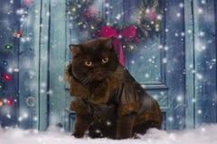 Великобританский кот в пальто сидит на двери стоковые фото