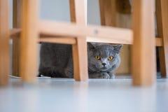 Великобританский кот коротких волос, крытая стрельба Стоковые Изображения