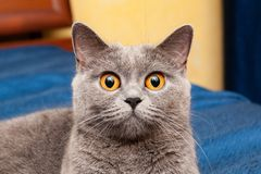 Великобританский кот с красивыми оранжевыми глазами стоковое фото rf