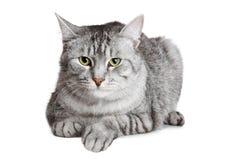 великобританский кот Стоковое Изображение
