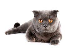 Великобританский кот shorthair лежа вниз Стоковые Фото