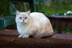 Великобританский кот Shorthair сидя на стенде в саде и смотря камеру стоковые изображения