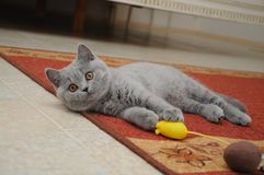 Великобританский милый прелестный котенок играет с малой желтой мышью Стоковые Фото