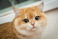 Великобританский мужчина BRI ny 12 SunRay Gvendy Nobily кота shorthair - глаза черной золотой раковины зеленые стоковые фото