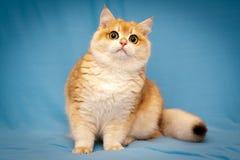 Великобританский мужчина BRI ny 12 SunRay Gvendy Nobily кота shorthair - черная золотая раковина стоковое изображение