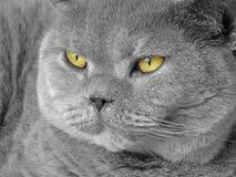 Великобританский портрет представления родословной shorthair стоковые изображения rf