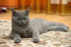 великобританский серый котенок Стоковые Фотографии RF