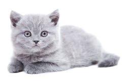 великобританский серый котенок Стоковые Изображения RF