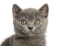 Великобританский серый кот Стоковое Изображение
