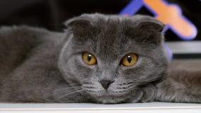 Великобританский серый кот shorthair с желтым портретом глаз видеоматериал