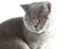 великобританский серый цвет кота Стоковое фото RF