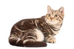 великобританский tabby кота стоковые фото
