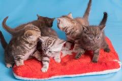 5 великобританских котят на голубой фиолетовой предпосылке Стоковое Изображение RF