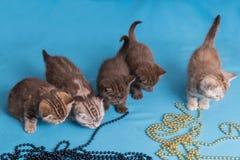 5 великобританских котят на голубой фиолетовой предпосылке Стоковые Фотографии RF