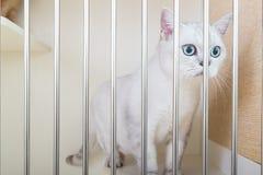 великобританское shorthair кота стоковая фотография rf