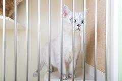 великобританское shorthair кота стоковые фотографии rf