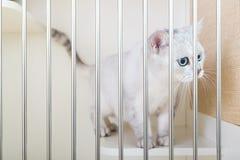 великобританское shorthair кота стоковые фото