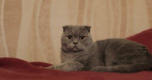великобританское shorthair кота видеоматериал