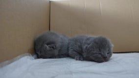 великобританское shorthair котят видеоматериал