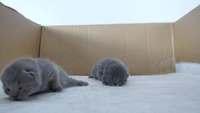 великобританское shorthair котят сток-видео