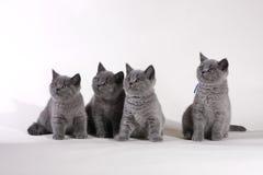 великобританское shorthair котят стоковые изображения rf