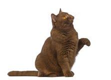 Великобританское Shorthair, 20 месяцев старых, сидеть, смотря вверх с лапкой вверх стоковые фотографии rf
