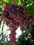 Великолепные группы красных виноградин Стоковое фото RF