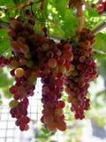 Великолепные группы красных виноградин Стоковое Изображение