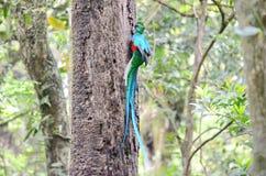 Великолепный quetzal - мужчина Стоковое фото RF