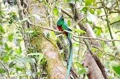 Великолепный quetzal - мужчина Стоковое Изображение